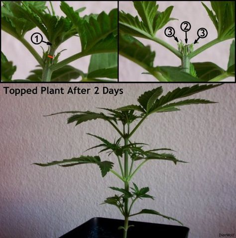 Marijuana Vegetative Growth Stage - Weed pruning and how to grow cannabis indoors.
