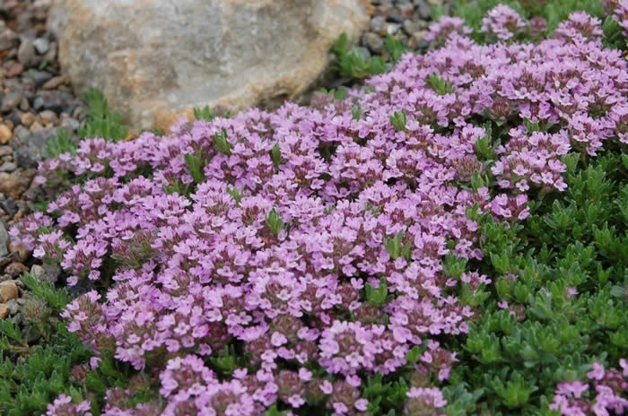 Creeping Thyme ground cover | Outdoor Love | Pinterest