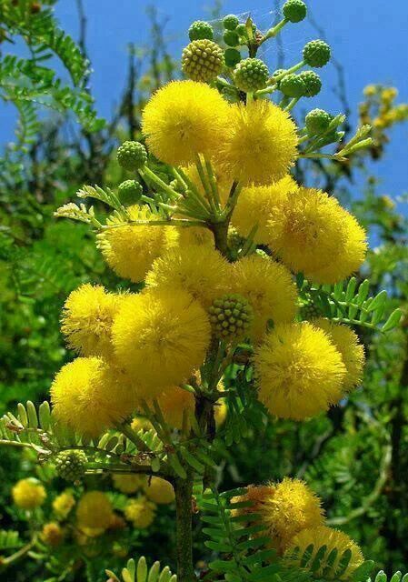 MEANS ELEGANCE AND FRIENDSHIP(ACACIA FOWER) Acacia dealbata - yellow pom pom flowers. Acacia dealbata is a species of Acacia, native to southeastern Australia in New South Wales, Victoria, Tasmania, and the Australian Capital Territory and widely introduced in Mediterranean, warm temperate, and highland tropical landscapes.