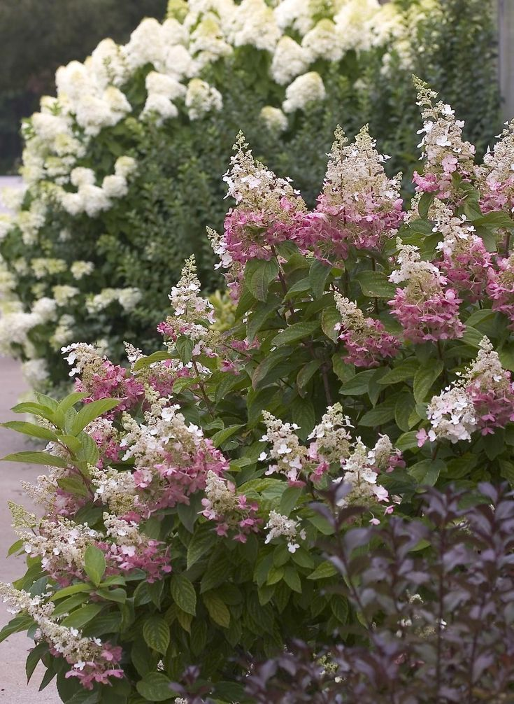 This Pinky Winky hydrangea's multicolored blooms bring a touch of class to a country or Farmhouse garden