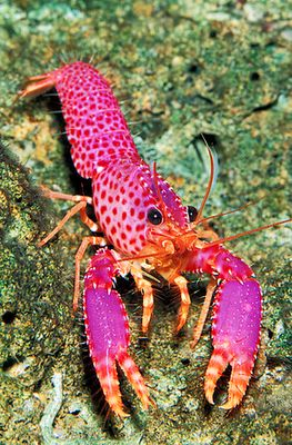 "Pic iucnredlist.org / thefeaturedcreature.com    Violet-spotted Reef Lobster / Enoplometopus debelius    The ""Barbie Girl"" of lobsters / La ""Barbie"" de las Langostas"