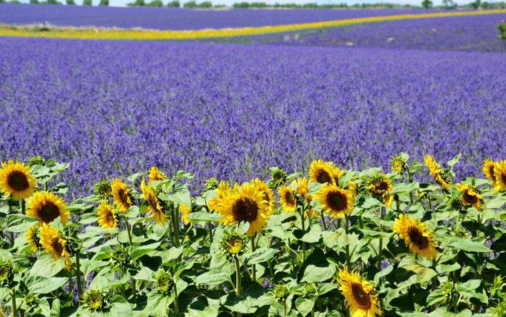 Valensole (lavender fields, lavande, lavandin, lavanda)