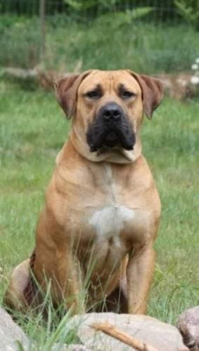 South African Boerboel... I want one!