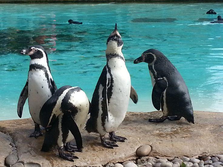 il y a 1 an 4 tags london zoo penguin zoo de londres manchot