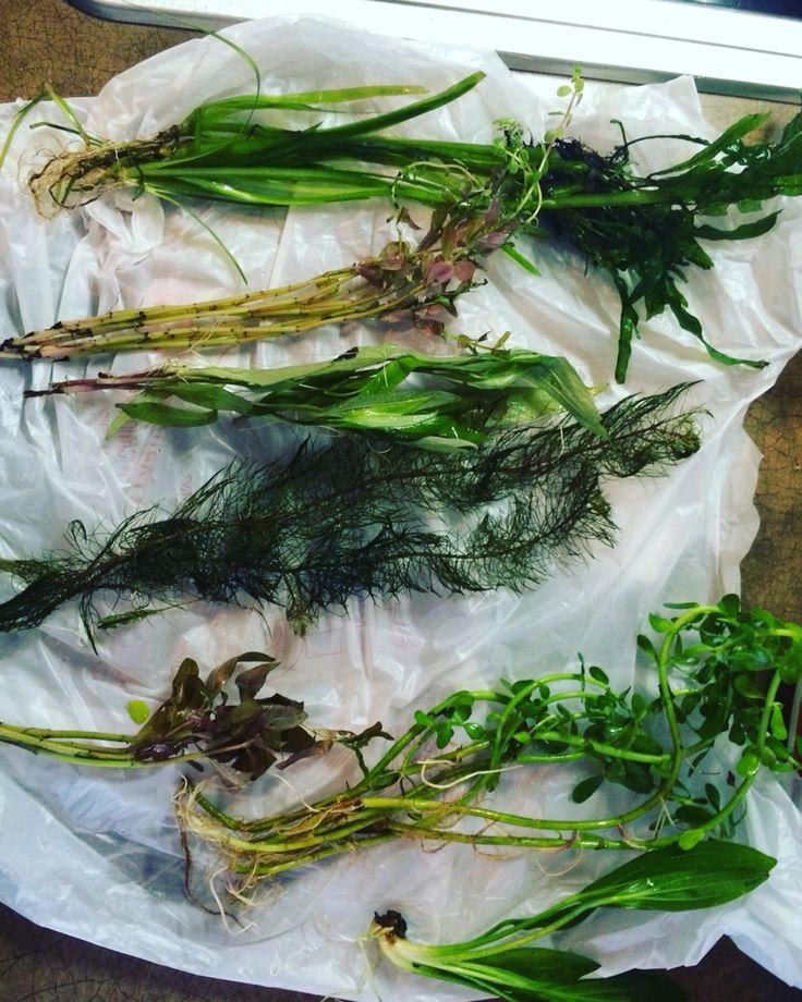Plants for my betta tank betta fish pinterest for Betta fish plant