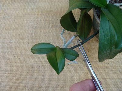 Új orchidea hajtás. | Csak Orchidea barátoknak!