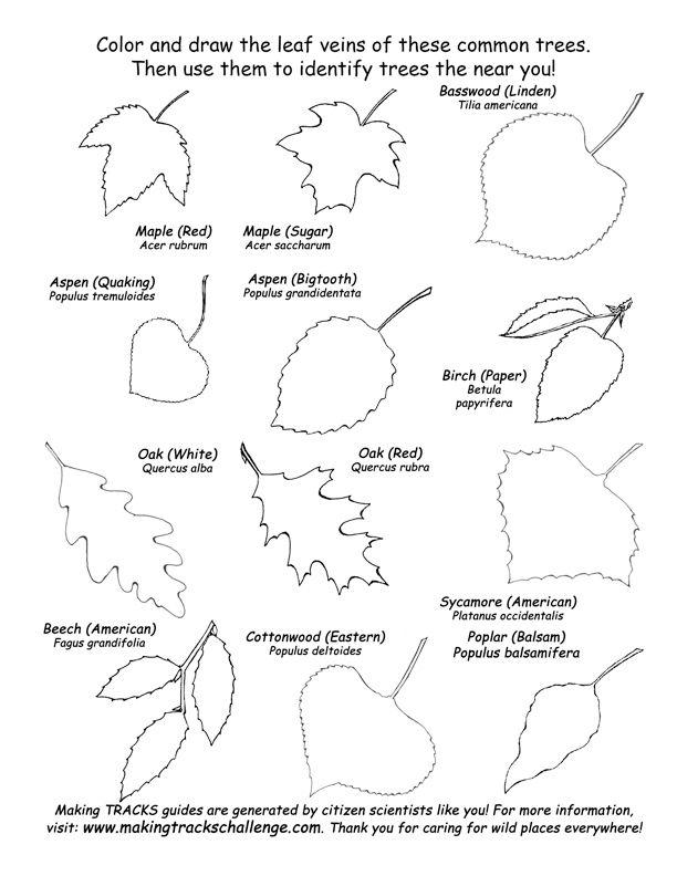 Tree Identification | Leaf Shapes - Deciduous Tree Identification -- Exploring Nature ...