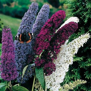 Butterfly Bush - It readily establishes itself from flower seed and has very fast and vigorous growth. This Buddleia Butterfly Bush mix of colors will attract both hummingbirds and butterflies alike.