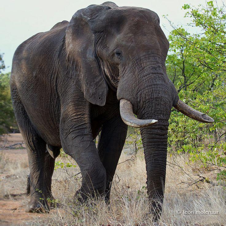 Old Elephant Bull                                                                                                                                                                                 More