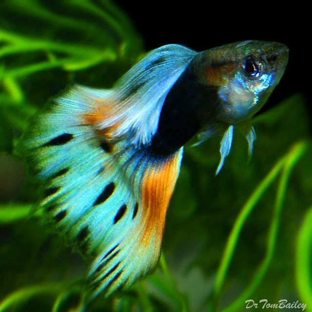Gorgeous guppies fancy male guppy bugs n 39 stuff for Colorful freshwater fish for sale