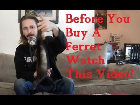 BEFORE you BUY a FERRET watch this VIDEO! Very informational video if you're ever thinking of getting a ferret, like me.