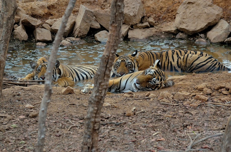 T-19 with Cubs