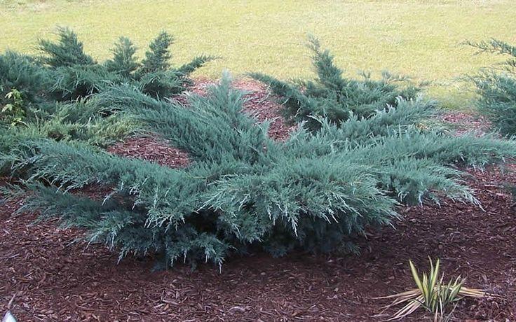 Juniperus virginiana 'Grey Owl' - NATIVE - 2-3' high, 3-4' wide, full sun