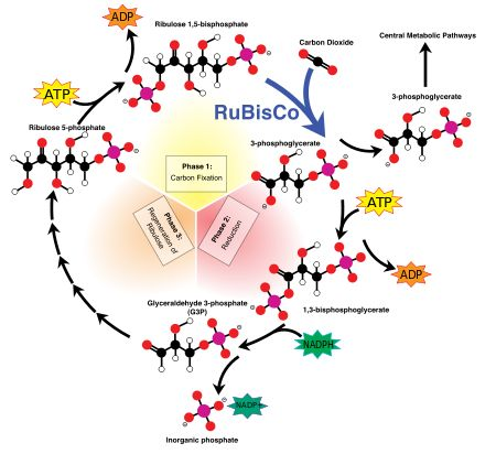 Calvin cycle in plants - Light-independent reactions - Wikipedia, the free encyclopedia