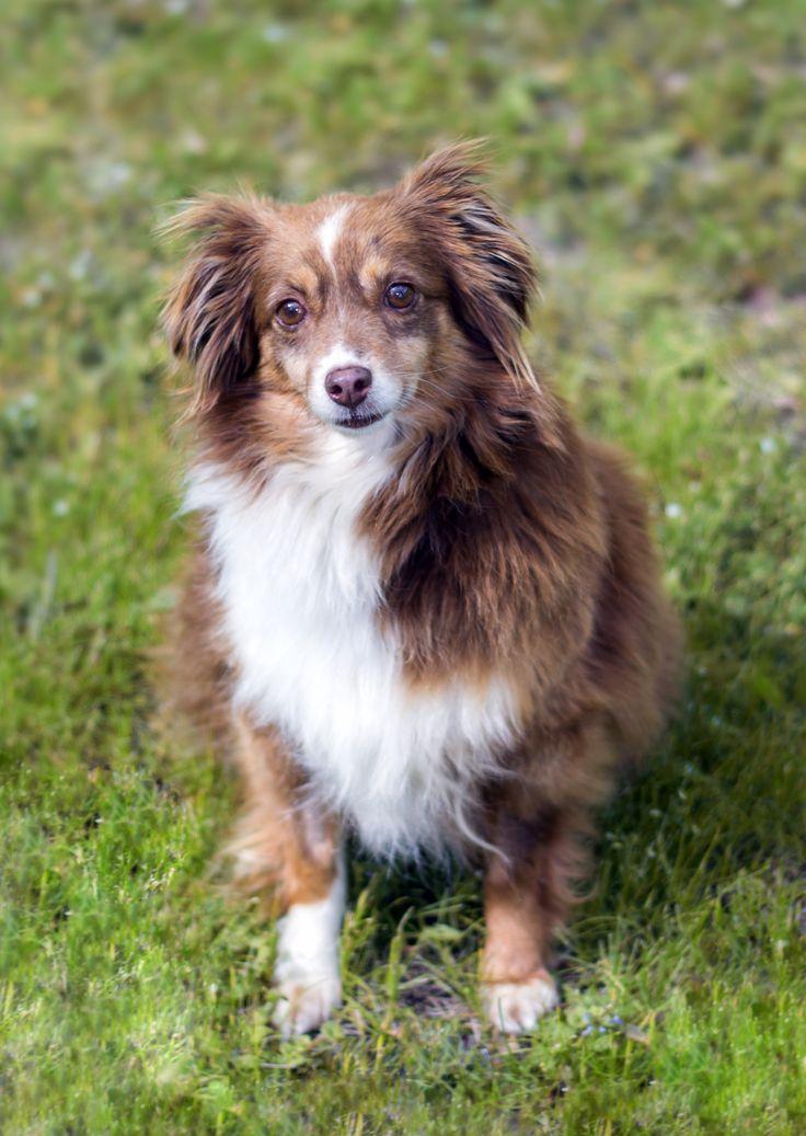 My mini Aussie, Harley! 😍 Mini aussie, Puppies,