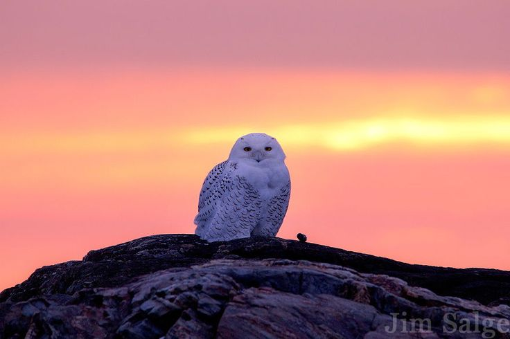 Snowy Owl at First Light by Jim Salge - Photo 58683632 / 500px