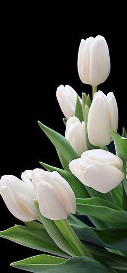 tulipas                                                                                                                                                      Mais