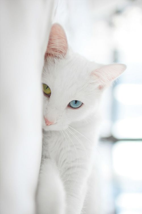So beautiful: Cats Eyes, Turkish Vans Cats, Pet, Blue Green, White Cats, Blue Eyes, Green Eyes, David Bowie, Eyes Color
