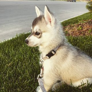 When they're puppies they're just the fuzziest little balls of fuzz there ever was. | 17 Reasons Alaskan Klee Kai Are The Absolute Cutest