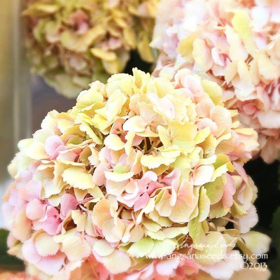 Hydrangea flower photo Paris cottage chic by AngsanaSeedsPhoto
