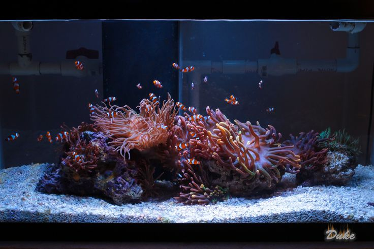 See more in the All Things Aquaria board: https://www.pinterest.com/JibinAbraham/all-things-aquaria/  Clownfish and Anemone Only tank - Reef Central Online Community