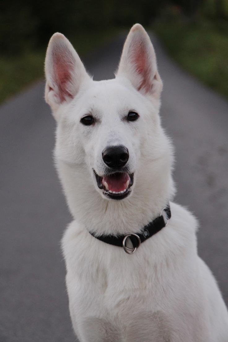 King Shepherd - Wikipedia