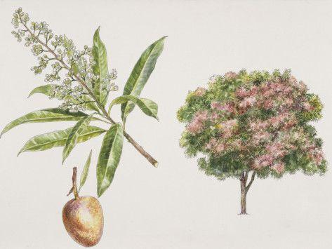 """Mango Trees (Mangifera Indica) """"Amra"""" is sacred to the Vedic Nakshatra Uttara Bhadrapada (26 of 27)"""
