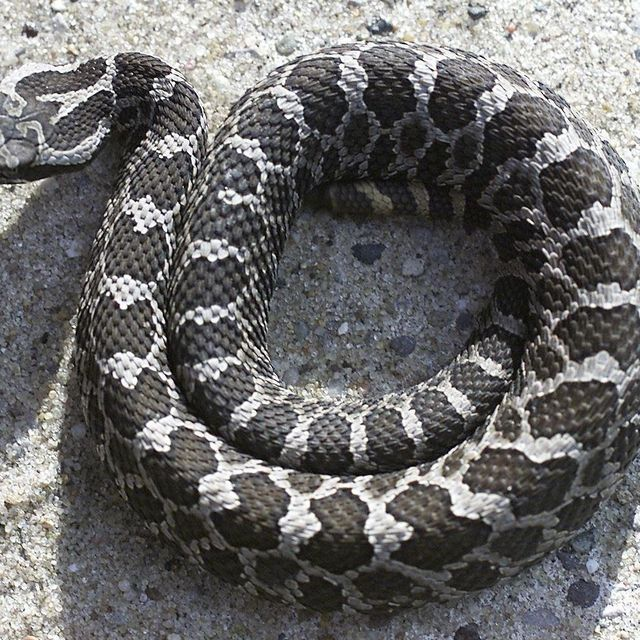 Michigan's Lone Venomous Snake May Get Federal Protection