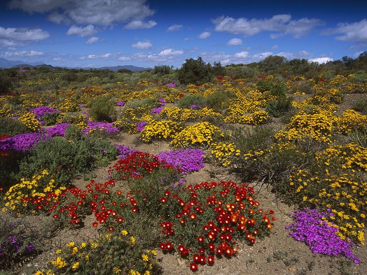 Colourful blooms, Klein Karoo.  (hqworld.net)