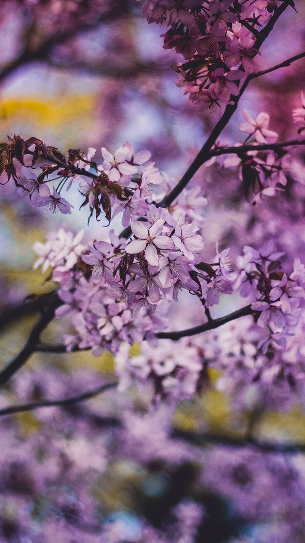 FLOWER PINK BLUE NATURE BOKEH TREE SPRING WALLPAPER HD IPHONE
