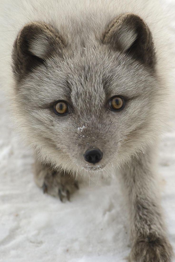 Arctic Fox by Rene Jensen on 500px