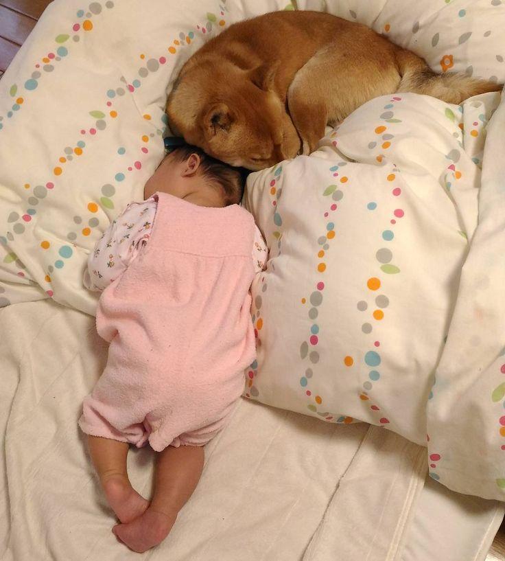妹ちゃん寝ちゃったから僕も一緒に寝るワン 乳幼児のうつぶせ寝は推奨されていませんこの後すぐに妹ちゃんはあお向けに寝させました #shiba#shibalove#shibainu#shibastagram#dogsofinstagram#dogs#dog#animal#pet#Japanesedog#babyanddog#kaumo#pecoいぬ部#柴犬#しばいぬ#柴犬マニア#犬#ペット#犬バカ部#犬と赤ちゃん#柴犬と赤ちゃん#親バカ部#娘#子守り犬#昼寝 by azuki.shibainu0626