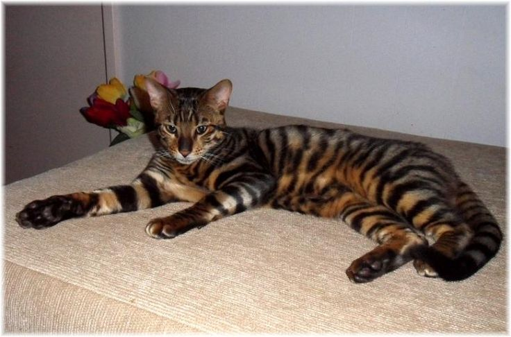 toyger cat | toyger | Animals | Pinterest | Cats, Ontario ...
