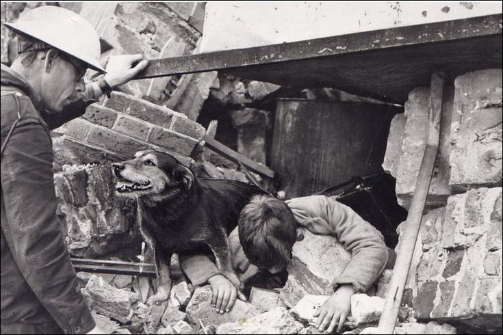 Mongrel Terrier Rip helping to rescue a child. From 1941 to 1942, Rip saved more than 100 people.