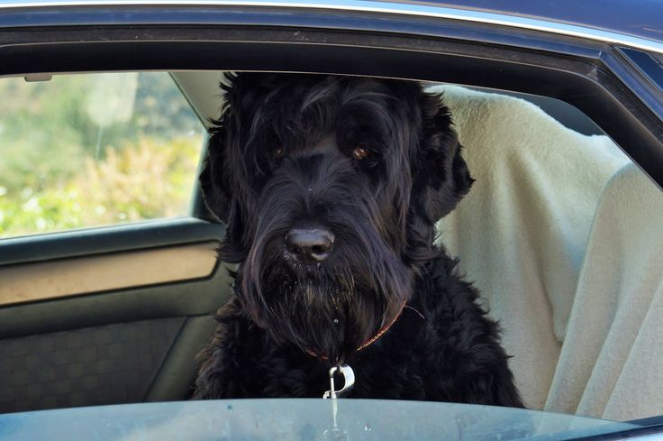 Chart Russian Terrier Growth Black
