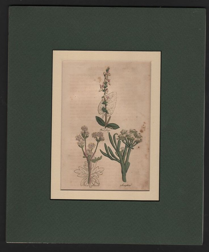 HERBS: Wood Sage - Wood Danide - Samphire DOUBLE MATTED c1812 Print