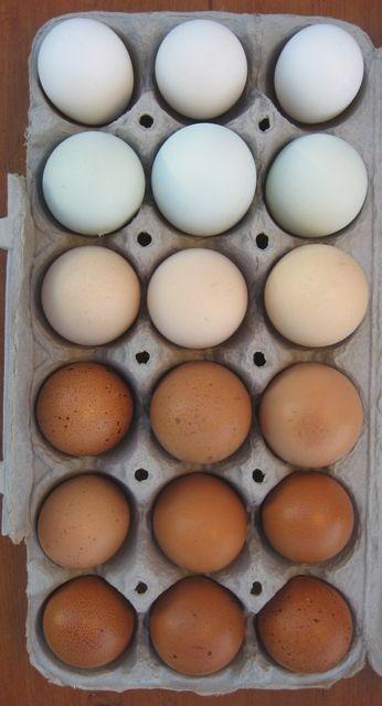 rainbow eggs: Colors Gardens, Bathroom Colors, Chicken Breeds, Pretty Colors, Colors Stories, Eggs Colors, Chicken Farms, Chicken Eggs, Chicken And Eggs
