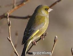 vogels in de tuin: groenling
