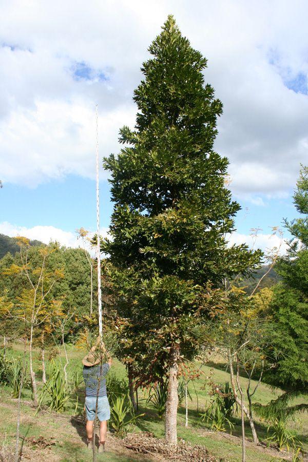 Agathis robusta - Queensland Kauri Pine 7m x 20m