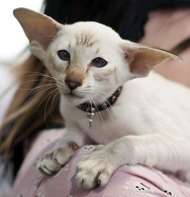 30 Best Amikoshi Cat Images On Pinterest