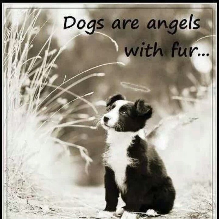 Dog Angel Quotes: Dogs Are Angels With Fur