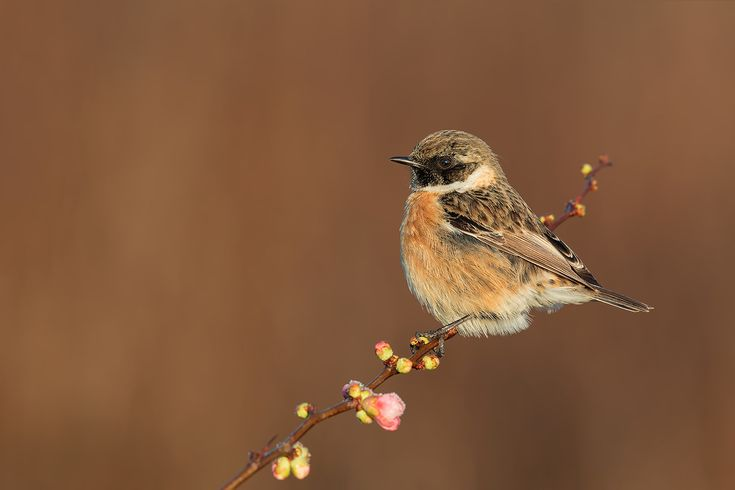 Europena Stonechat Dawn and Ice Flowers - shot from car , Tuscany dawn