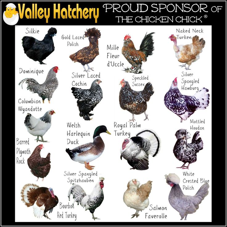 chicken colors chart