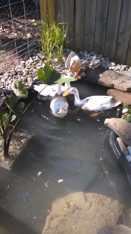 Duck enclosure!!
