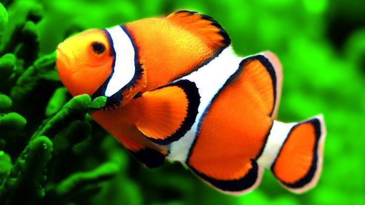 Clownfish Care Guide Saltwater Fish Marine Fish Invertebrates Corals Marine Fish Tank Reef Tank Saltwat In 2020 Saltwater Fish Tanks Clown Fish Saltwater Aquarium Fish