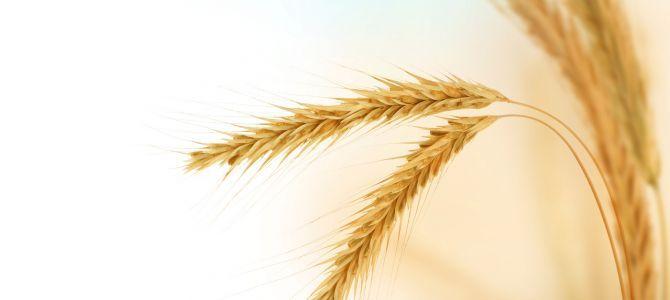 Breeding of Wheat (Part II)