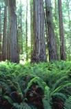 Coast redwood and sword ferns in Redwood National Forest