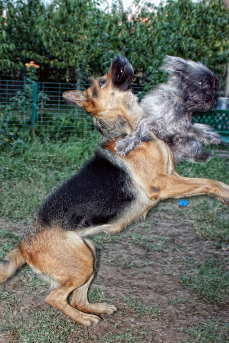 It's mineeeeeee (A German Shepherd and a Havanese)