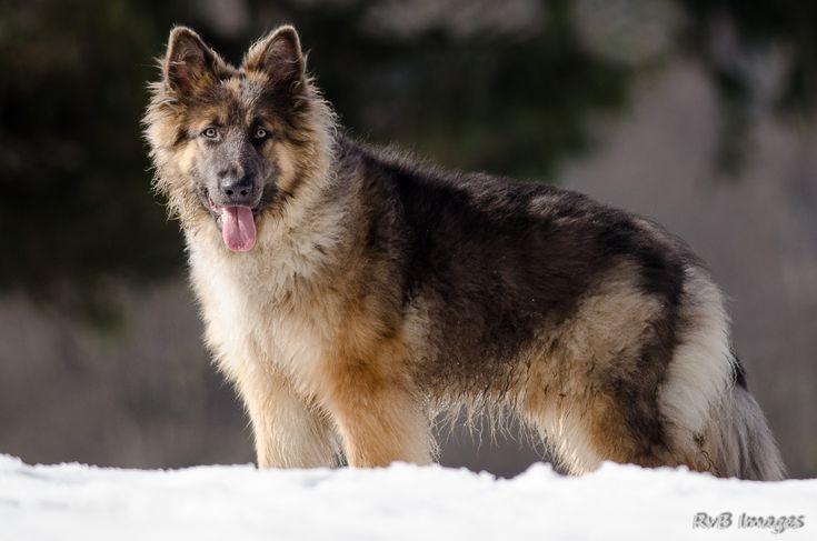 De La Légende Du Loup Noir, Dena Ayiana, éleveur de Berger allemand à poil long…