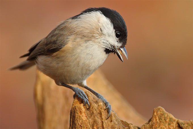 Leicht Zu Verwechseln Vogel Bestimmen Im Winter Nabu Vogel Bestimmen Vogel Im Garten Sumpfmeise